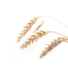 Four ears of wheat on a white background. See my other works in portfolio stock photography