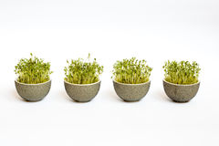 Four easter flowerpots with sprouted corn Royalty Free Stock Images