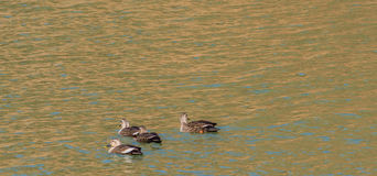 Four Eastern Spot-billed ducks swimming together Stock Photos