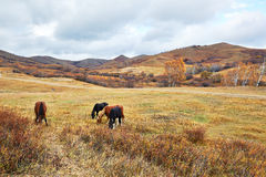 The four eating horses on the autumn grassland Royalty Free Stock Image
