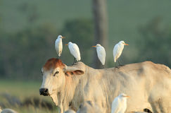 Four egrets on cow back Stock Photography