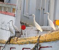 Four Egrets Watch for Fish Stock Photo