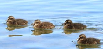 Four Eider Duck ducklings Stock Photo