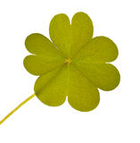 Four element clover isolated leaf Stock Photo