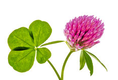 Four element clover leaf and pink flower Royalty Free Stock Photos