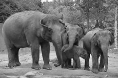 Four elephants Royalty Free Stock Image