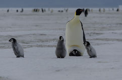 Four Emperor Penguin Chicks and parent Stock Photo