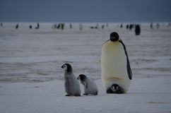 Four Emperor Penguin Chicks and parent. Emperor Penguin chicks (Aptenodytes forsteri) on the ice Stock Image