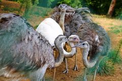 Four emus Stock Photography