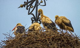 Four european white storks, ciconia, in the nest Stock Photo