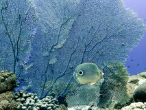Four eyed butterfly fish Stock Photos