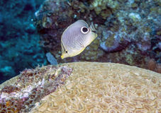 Four-eyed Butterflyfish (Chaetodon capistratus). Is a butterflyfish (family Chaetodontidae). It is alternatively called the Foureye Butterflyfish Stock Photo