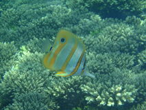 Four-eyes butterfly fish Stock Image
