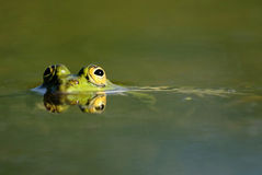Four eyes of green frog royalty free stock images