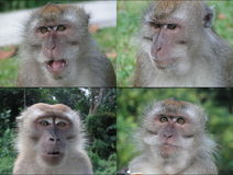 Four faces of monkeys. These are long tail macaques from singapore. These live about 5oo metres from my house. they are male Royalty Free Stock Images