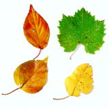 Four fall color leaves. Yellow brown and red leaves over white background Royalty Free Stock Photos