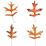 Four fall leaves Royalty Free Stock Photos