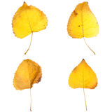 Four fall leaves. Isolated on white background Royalty Free Stock Photos