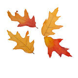 Four Fall Leaves Isolated. Orange, red, yellow, and brown colors Royalty Free Stock Photos