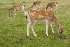 Four fallow deer grazing in field Stock Images