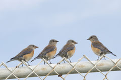 Four Female Easter Bluebirds (sialia sialis) on a chain link fen. Ce with blue sky background. One bird facing the other three. Copy space above. Horizontal Royalty Free Stock Photo