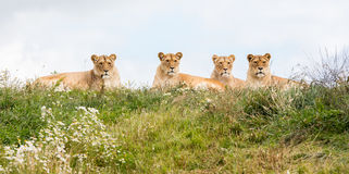 Four female lions Royalty Free Stock Image