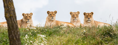 Four female lions Stock Photo