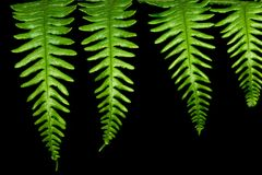 Four Fern Leaves. Set against a black background Royalty Free Stock Images