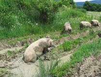 Four filthy pigs. Four pigs on the meadow Royalty Free Stock Photos
