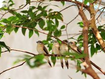 Four Finch birds. Standing close together on a tree branch in an aviary in Butterfly World, South Florida Stock Photography
