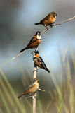 Four finches sharing a branch. Four finches (rusty-collared seedeater, sporophila collaris), three males and one female, perching on the same branch Royalty Free Stock Photos