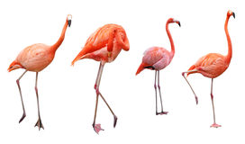 Four Flamingo Royalty Free Stock Images