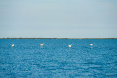 Four Flamingos Nesting Camargue Stock Images