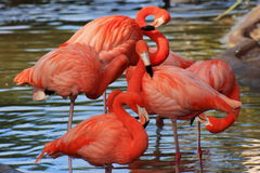 Preening Flamingos Stock Photography