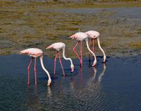 Four Flamingos with red pink white plumage in the pond of lake water. Group of Flamingos drinking water and searching for food Stock Image