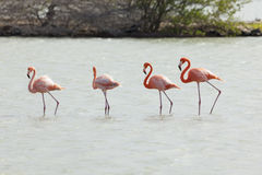 Four flamingos in a row at Curacao Stock Images