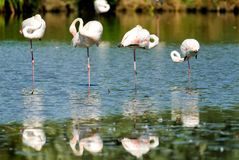 Four flamingos standing on one leg in a row in Camargue National Park, France Royalty Free Stock Photos