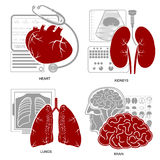 Four flat design medecine icon heart lungs brain kidneys Royalty Free Stock Photography