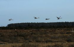 Four flaying bird swan. Four white bird swan flying long neck royalty free stock image