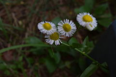 Four fleabane wildflower blooms on display. Four fleabane wildflower blooms looking like daisies on display stock images
