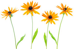Four flower yellow coneflower Royalty Free Stock Image