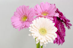 Gerbera. Four flowers are color of pink and magenta Royalty Free Stock Photography