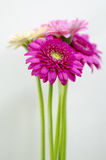 Gerbera. Four flowers are color of pink and magenta Stock Images