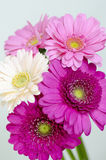 Gerbera. Four flowers are color of pink and magenta Stock Photo