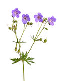 Four flowers of a purple geranium cultivar on white Stock Photos