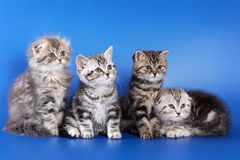 Four fluffy kittens skottish fold. On blue background Royalty Free Stock Photos