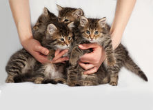 Four fluffy Siberian striped kitten sitting on gray Stock Photo