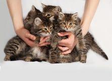Four fluffy Siberian striped kitten sitting on gray Stock Photo