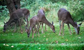 Four Foraging White Tailed Deer. Four white tailed deer foraging in the fall. (Actually foraging for chestnuts but unfortunately none can be seen) Coats have Stock Photos