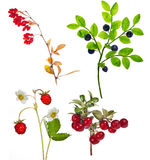 Four forest berry branches isolated on white Royalty Free Stock Images